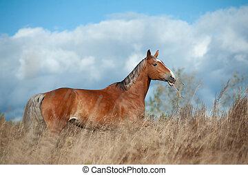 akker, paarde, palomino