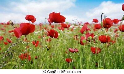 akker, rood, poppies.