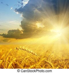 akker, tarwe, ondergaande zon , goud, oor