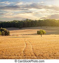 akker, tarwe, ondergaande zon