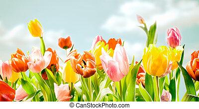 akker, van, kleurrijke, decoratief, lente, tulpen