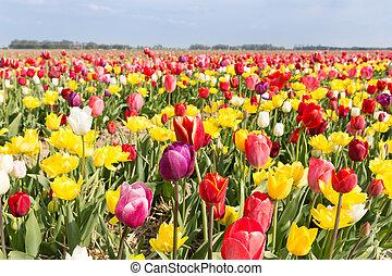 akker, van, mooi, kleurrijke, tulpen, in, de, nederland