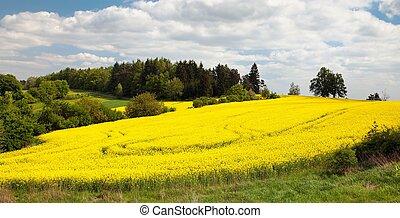 akker, van, raapzaad, -, plant, voor, groene, energie