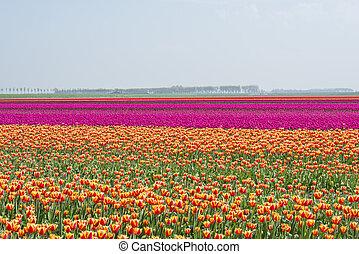 akker, van, rood geel, anmd, paarse , tulpen, in, holland
