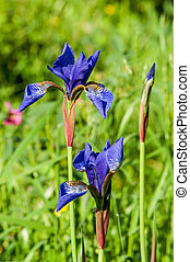 akker, wild, iris