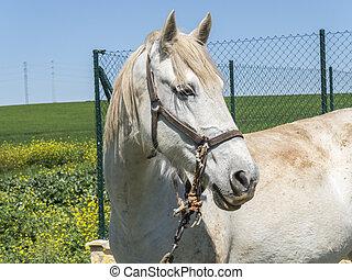 akker, wit paard