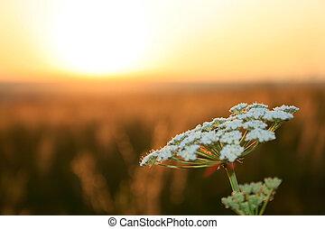 akker, witte bloem, ondergaande zon , tegen