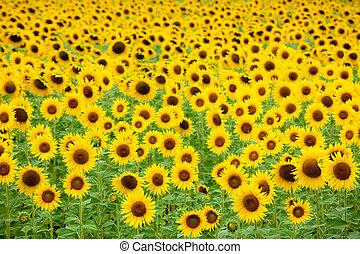 akker, zonnebloem, achtergrond