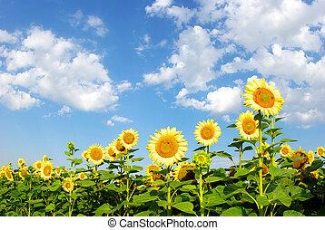 akker, zonnebloem