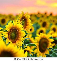 akker, zonnebloemen, ondergaande zon