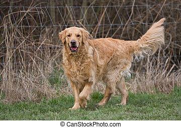 aktiv, goldener apportierhund