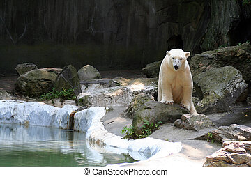 aktiv, polar björn