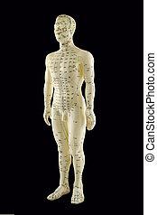 akupunktur, modell
