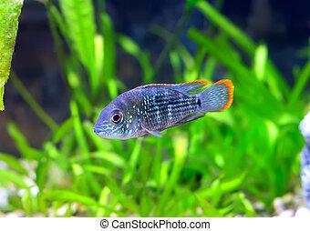 akvarium, nijsseni., cichlid-apistogramma, dvärg, fish