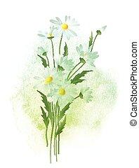 akwarela, wektor, chamomile, flower., ilustracja