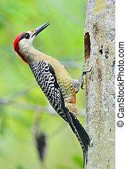 al oeste indio, pájaro carpintero, superciliaris),...