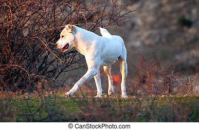 alabai dog in autumn meadows
