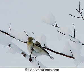 Alabama Gold Finch in Winter - Gold finch in snow covered...