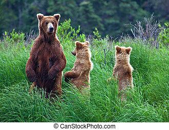 alaska, bär, grizly