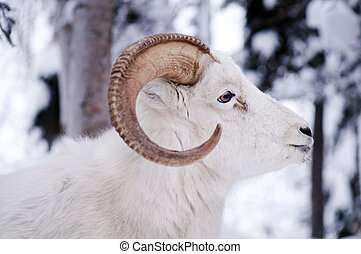 Resting Dall Sheep lays in the fresh snow