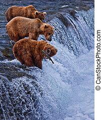 alaska, oso, grizly