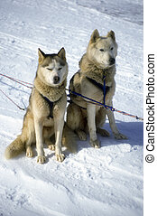 Alaska Sled Dogs - A pair of sled dogs harnessed.