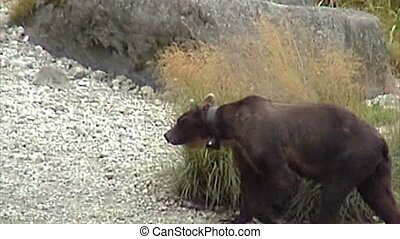 Wild Grizzly with GPS collars to track their movements, walking on a grass plain near Chilkoot River in Haines town area, Alaska, United States.