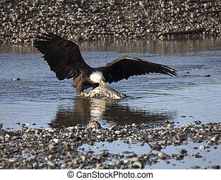 alaskan, águia calva, comer, salmão