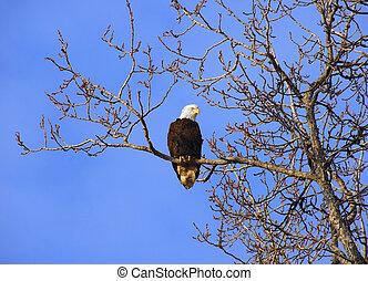 alaskan, águia calva, em, árvore, em, pôr do sol