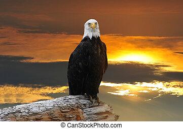 alaskan, águia calva, em, pôr do sol