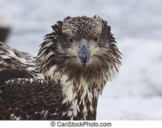 alaskan, águia calva