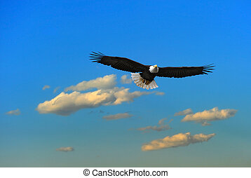 alaskan, águia calva, voando