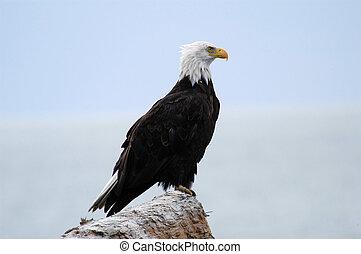 alaskan, águia, calvo