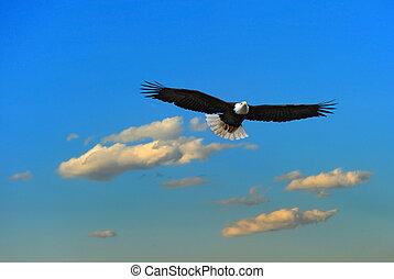 alaskan, águia, calvo, voando