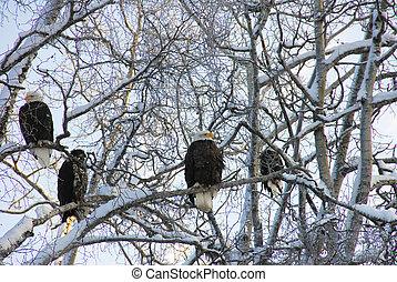 alaskan, águias calvas, em, inverno