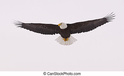 Alaskan Bald Eagle - American Bald Eagle in flight with ...