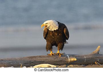 Alaskan Bald Eagle calling on beach