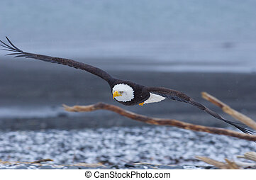 Alaskan Bald Eagle, Haliaeetus leucocephalus, flying over...