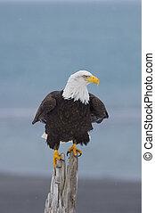 Alaskan Bald Eagle, Haliaeetus leucocephalus, on log on...