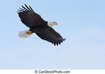 Alaskan Bald Eagle, Haliaeetus leucocephalus, flying over...