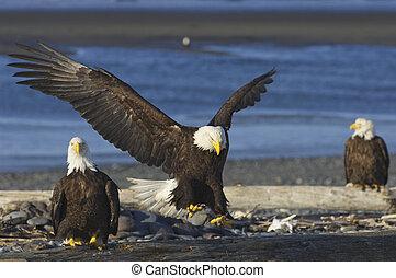 Alaskan Bald Eagle landing on beach