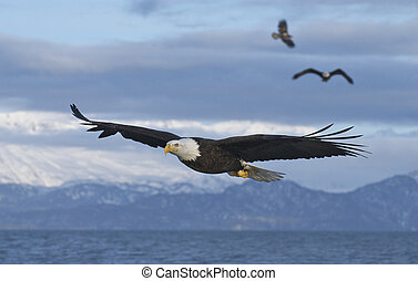 Three American Bald Eagles in flight with wings spread wide with blue sky background