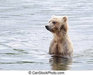 Alaskan Brown bear - An Alaskan brown bear searching for...