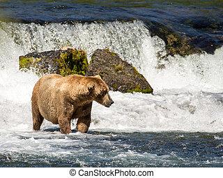 Alaskan brown bear at Brooks Falls in Katmai National Park,...