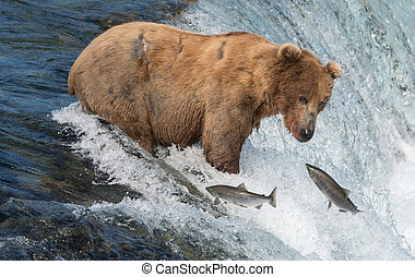 Alaskan brown bear attempting to catch salmon - An Alaskan...