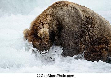 Alaskan brown bear catching salmon - Alaskan brown bear...