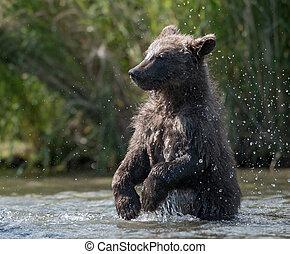 Alaskan brown bear cub in Brooks River - Alaskan brown bear...