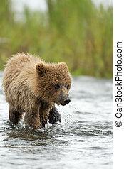 Alaskan brown bear cub walking