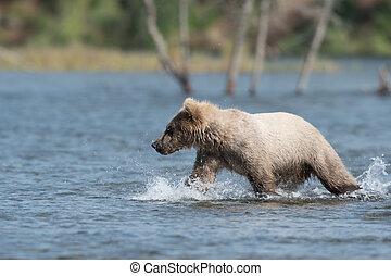Alaskan brown bear cub walking through Brooks River in...