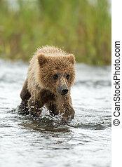 Alaskan brown bear cub walking through the Brooks River in Katmai National Park, Alaksa